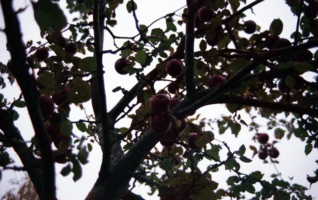 Apfelbäckchen (c) Lomoherz (1)